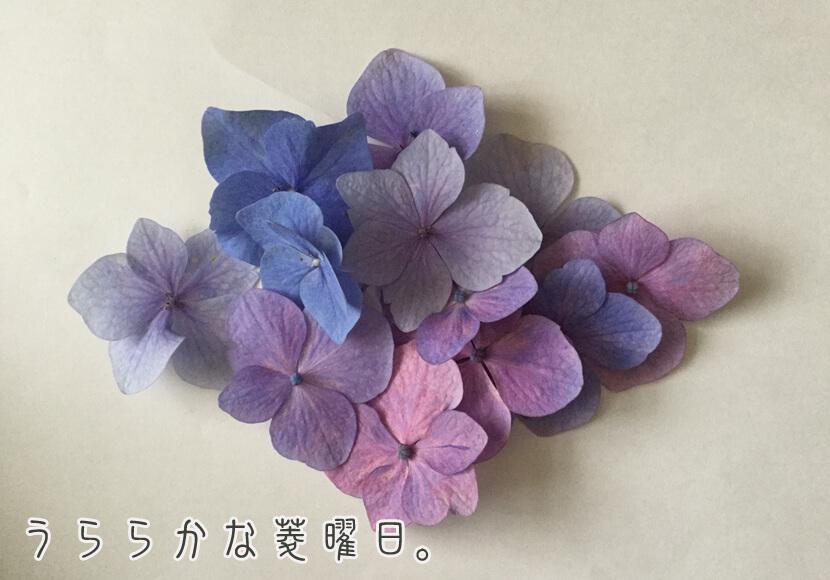 ひし紫陽花